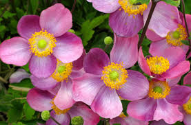 anemone plant rhs advice tips on garden indoor plants plant finder