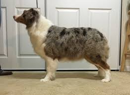 australian shepherd velcro dog jenna echolight australian shepherds