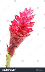 Red Ginger Flower - beautiful tropical red ginger flower on stock photo 137340437