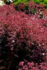 plants for rock gardens purple emperor stonecrop monrovia purple emperor stonecrop