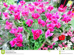 up of pink cyclamen flowers with their ornamental leaves