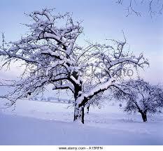 cherry tree in winter stock photos cherry tree in winter stock