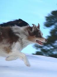 australian shepherd gif australian shepherd breed profile dogcast radio