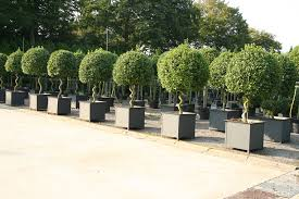 Topiary Cloud Trees - topiary trees topiary gardens trees bushes plants