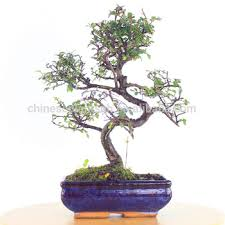 zelkova parvifolia ulmus elm mini bonsai 15cm s shape bonsai trees