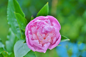 Peony Flower Free Photo Peony Flower Flower Garden Pink Free Image On