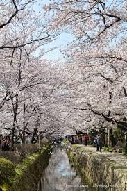 path of philosophy kyoto s prettiest cherry blossom walk