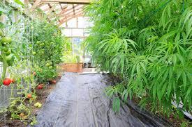 cannabis im garten marijuana cannabis hanf pflanze w磴chst im inneren des gr禺nen