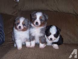 australian shepherd in california miniature australian shepherd puppies for sale in lakeville