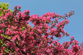 trees with pink flowers trees tree pink flowers blossom nature photo best