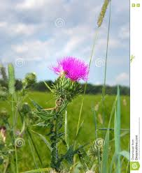 scottish thistle in green summer field stock photo image 78103746