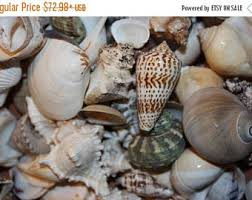 where to buy seashells bulk seashells etsy