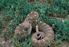 western diamondback rattlesnake wikipedia