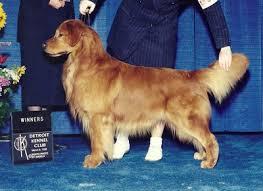 Comfort Golden Retriever Breeders Gemstar Golden Retrievers And Comfort Kennel Golden Retriever