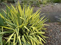 Fake Plants Home Depot Danger Garden Another Yucca Filamentosa Is My Favorite Plant In
