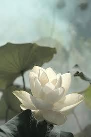 Lotus Flower In Muddy Water - lotus flower by yos kawapon on 500px flower pinterest lotus
