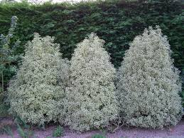 arbuste feuillage pourpre persistant oregistro com u003d haie de jardin feuillage persistant idées de