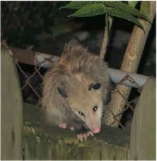 Possum In My Backyard How To Stop Possum U0027s From Killing Your Chickens Buy Live Traps