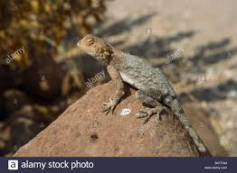 africa animal african lizard gecko namibia fauna stock photo