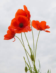 poppies flowers poppies against the sky 1 photo by ecker flowers cut