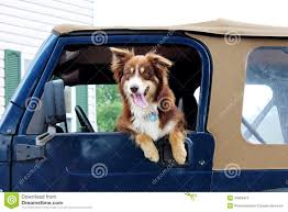 t shirt australian shepherd australian shepherd dog hanging out the window of a jeep stock