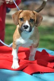 10 boxer dog facts cutest boxer beagle mix breed boxel fur babies pinterest