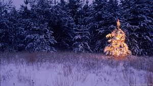 bbc earth five things you didn u0027t know about christmas trees