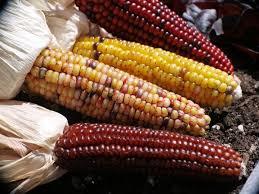 growing ornamental corn brings task of harvesting farm and home