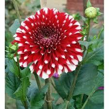 flower plants dahlia flower plant flower plant mahaveer singh contractor