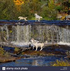 Banning State Park Map by Three Gray Wolves Cavorting In The Kettle River Above A Waterfall
