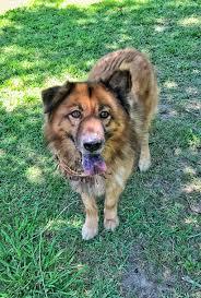 belgian shepherd houston harris adore houston dog rescue group