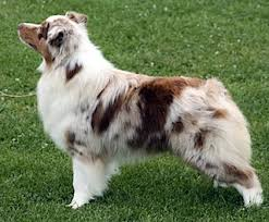 australian shepherd upstate ny aussie everything australian shepherd conformation