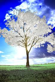 white tree by helios spada deviantart on deviantart photo