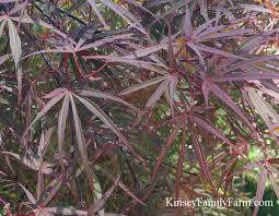 japanese maple trees for sale kinsey family farm kinsey