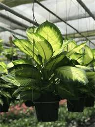 Tropical Plants Images - wholesale nursery for tropical plants palms and foliage mercer