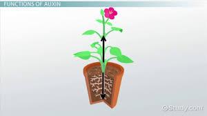 auxins in plants definition u0026 functions video u0026 lesson