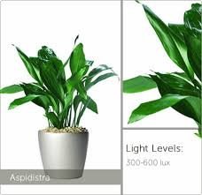 Plants For Office Low Light Plants Live Plants For Offices Ambius Uk