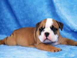 puppy dog wallpaper android apps on google play