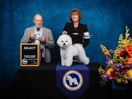 bichon frise therapy dog legend bichons puppies for sale