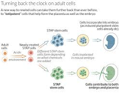 stem cell power unleashed after 30 minute dip in acid new scientist