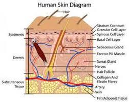 Human Anatomy Integumentary System Anatomy Rtms Science Olympiad