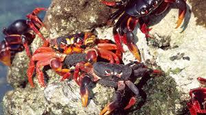 cuba wild island of the caribbean cuban crab invasion nature