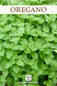 Easy Herbs To Grow Inside Growing Herbs 7 Herbs To Start From Seed