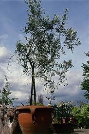 olive rhs gardening