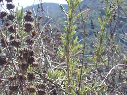 native southern california plants self healing with chumash native plant medicine wilderutopia com