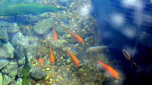 backyard fish pond bee water garden u0026 fish youtube