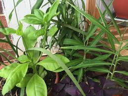 Pretty Plants by Suitable Companions For Ginger U2013 What Can I Plant With Ginger In