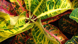 Croton Tropical Plant Care Of Croton Plant Youtube