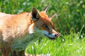 fox sticking it u0027s tongue free stock photo