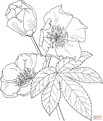cochlospermum vitifolium or buttercup tree coloring page